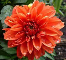 Orange Dahlia by Jess Meacham