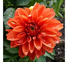 Orange Dahlia Photographic Print