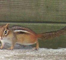 Photogenic Chipmunk by heatherlynn