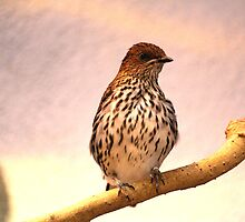 Violet Backed Starling (Female) by Larry Trupp