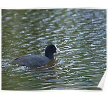 Coot with weed Poster
