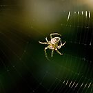 Spider spinning web by Sue Robinson