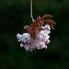 Prunus Blossom by Sue Robinson