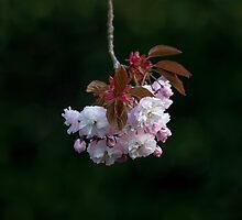 Prunus Blossom by Sue Robinson