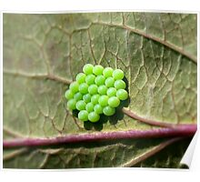 Common Green Shield Bug Eggs Poster