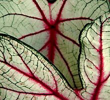 CALADIUM^ by ctheworld