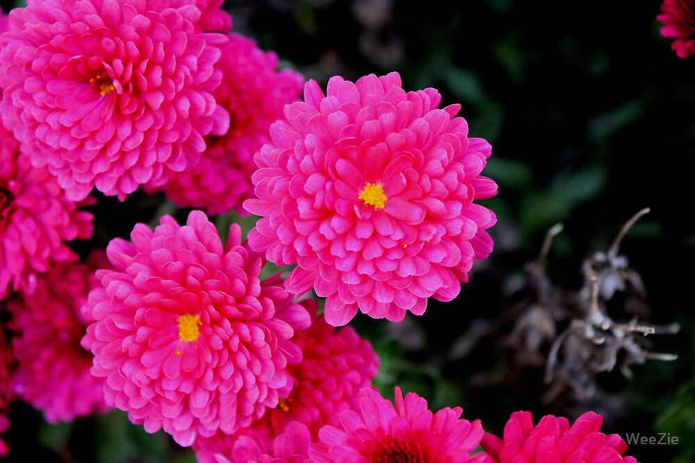 Mums by WeeZie