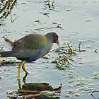 purple gallinule by Penny Rinker