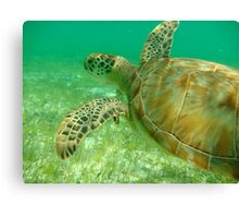 MCC Turtle Great Barrier Reef Canvas Print