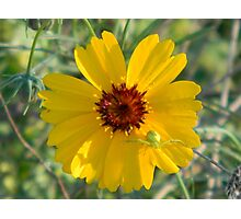 Coreopsis With Predator Drone Photographic Print