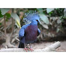 Victorian Crown Pigeon.  Photographic Print
