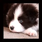 BORDER COLLIE PUPPIES - Varinia &quot;Globalphotos&quot; by Varinia   - Globalphotos