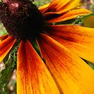 Black Eyed Susan by gregAllore