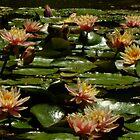 Gracemere Open Garden, Woodville by Gabrielle  Lees