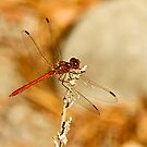 Male Southern Darter by Robert Abraham