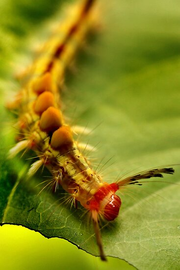 itchy, bristly, creepy caterpillar by lensbaby