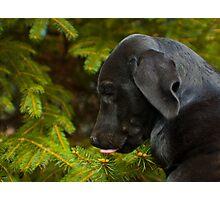 Spruce sap! Photographic Print