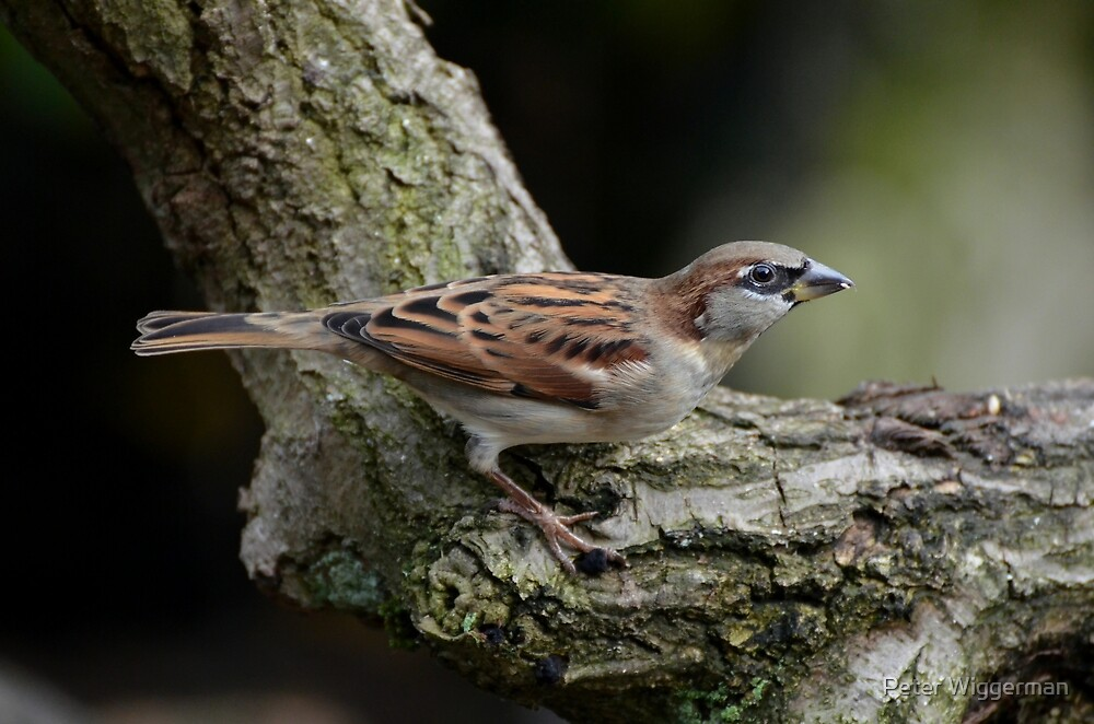 Cautious sparrow by Peter Wiggerman