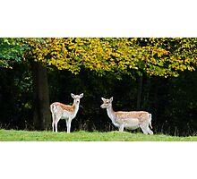 Fallow Deer.. Photographic Print