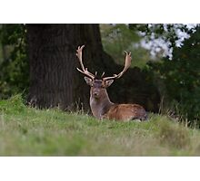 Fallow Deer Stag.. Photographic Print