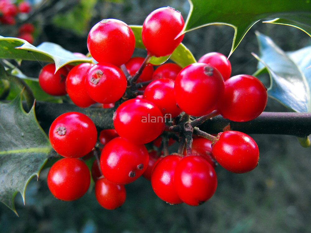 """The holly bears a berry ..........."" by alanf1"