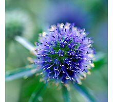 Blue thistle ball Photographic Print