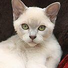 Burmese Kitten by Colin Shepherd