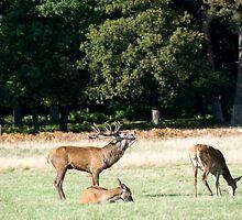 deers  by milena boeva