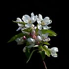 Crabapple Blossom by Sue Robinson
