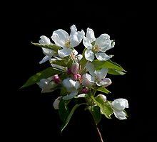 Crabapple Blossom by Sue Robinson