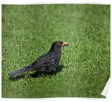 Blackbird with worms Poster
