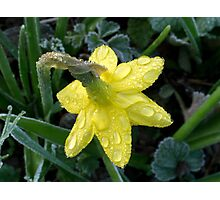 Narcissus flower with dew Photographic Print