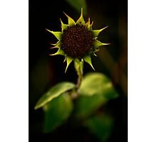 Roses are red, Violets are blue, Sunflowers are yellow. Photographic Print