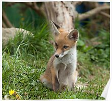 Fox Cub watching Poster