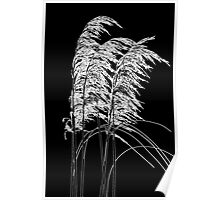 Inverted silhouette of toi toi flowers Poster