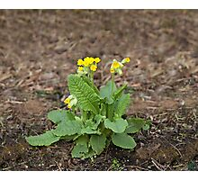 Cowslip Wild Flower Photographic Print