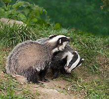 Badger Cubs playing by Sue Robinson