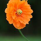 Orange Poppy by Heike Richter
