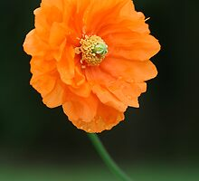 Orange Poppy by Heike Richter