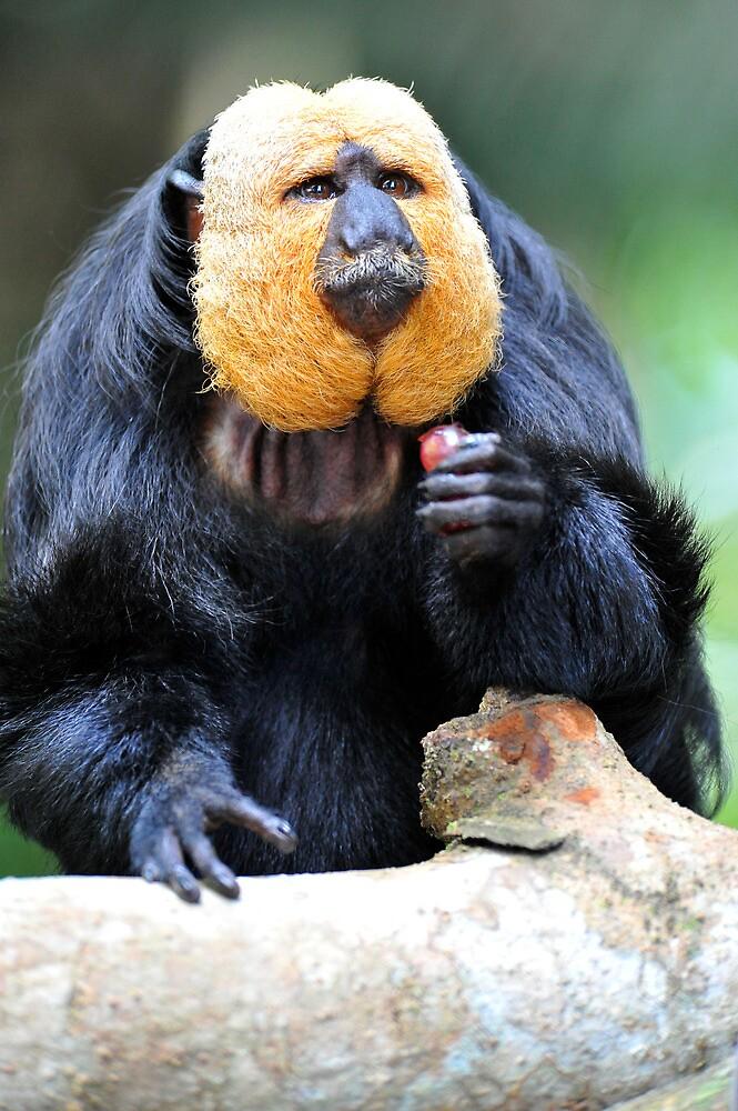 Saki Monkey. by Ralph de Zilva