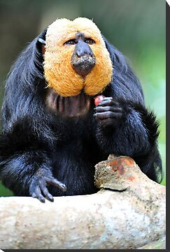 Saki Monkey. by Ralph de Zilva