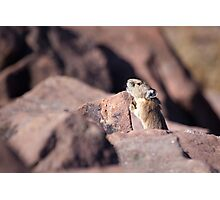 Pika 3 Photographic Print