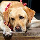 Golden Labrador by Mark Iocchelli