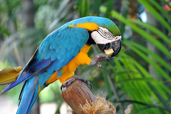 Blue & Yellow Macaw. by Ralph de Zilva