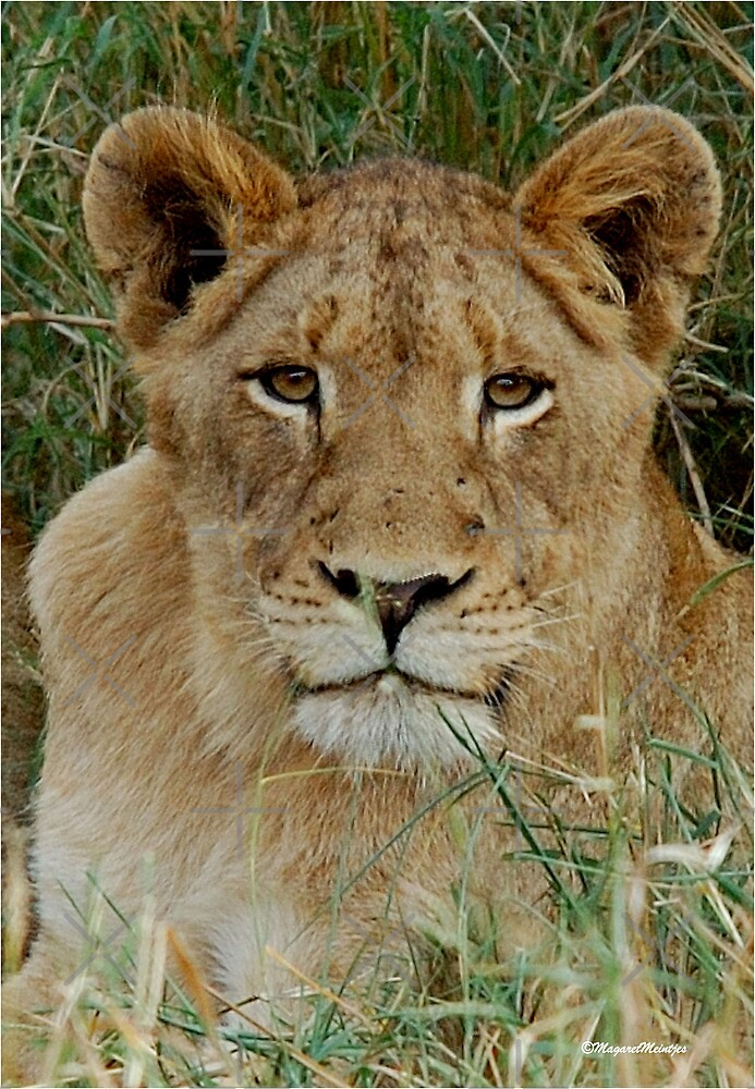 IF LOOKS COULD KILL - THE LION – Panthera leo by Magriet Meintjes