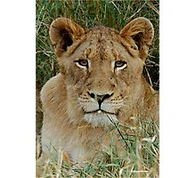 IF LOOKS COULD KILL - THE LION – Panthera leo Photographic Print
