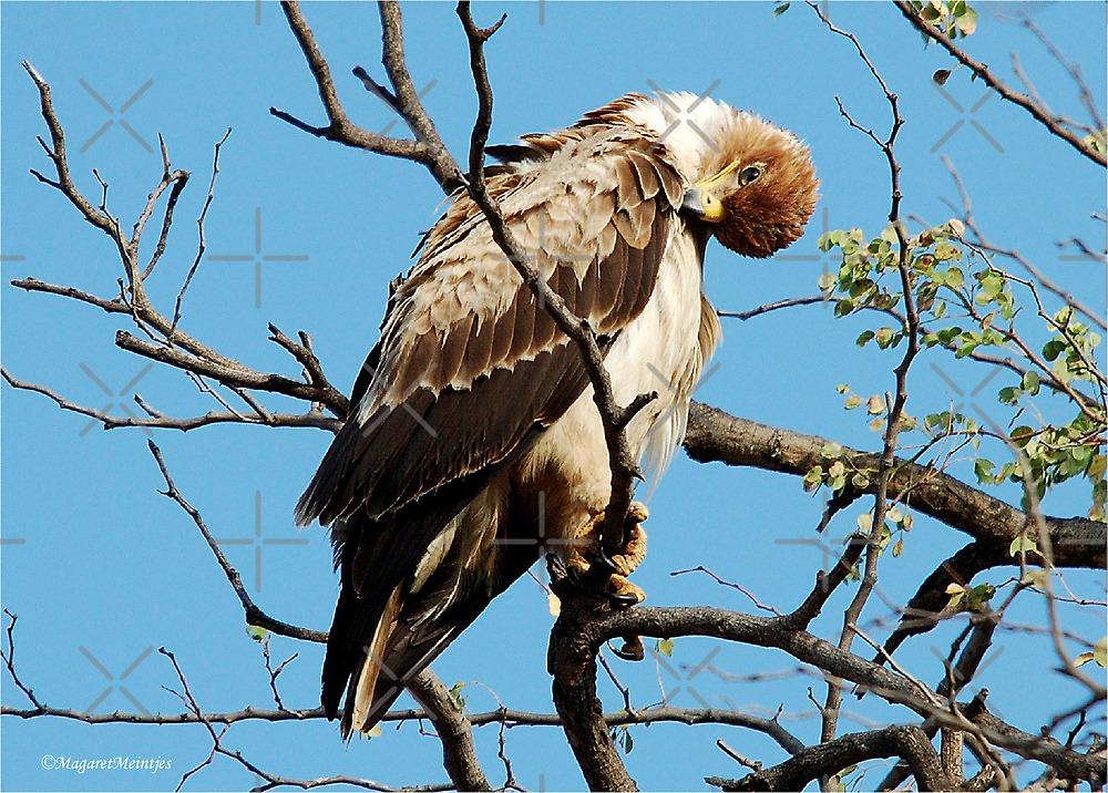 WAHLBERG'S EAGLE - Aquila wahlbergi - Bruinarend by Magriet Meintjes