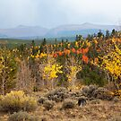 Red Aspens by Kim Barton