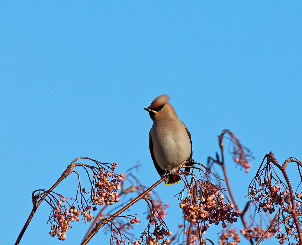 Bohemian Waxwing by Sue Robinson
