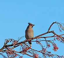 Bohemian Waxwing on Rowan by Sue Robinson